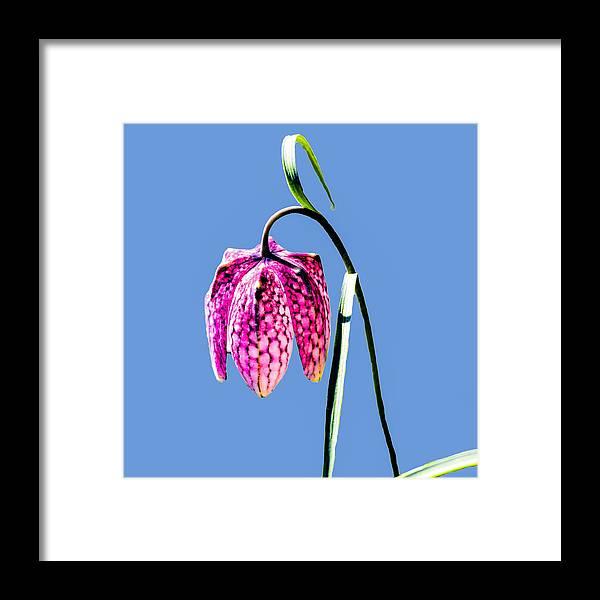 Fritillaria Meleagris Framed Print featuring the photograph Fritillaria Meleagris - Leif Sohlman by Leif Sohlman