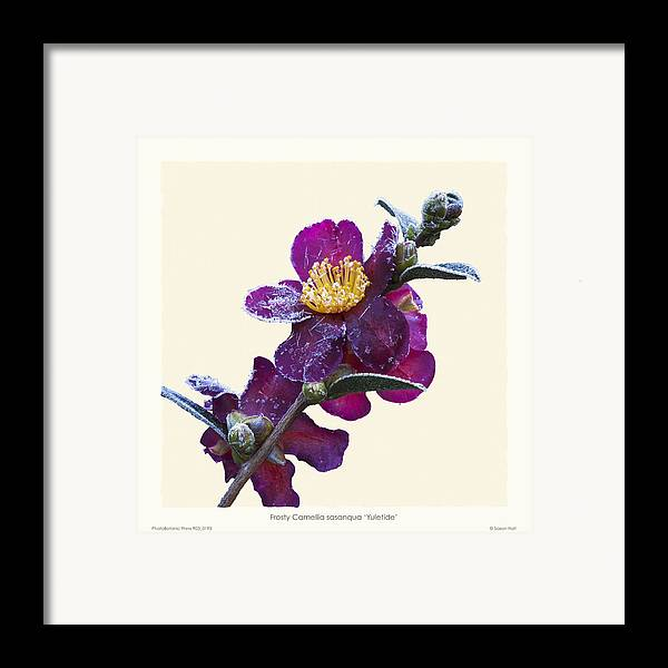 Frost Framed Print featuring the photograph Frost On Camellia Sasanqua 'yuletide' by Saxon Holt