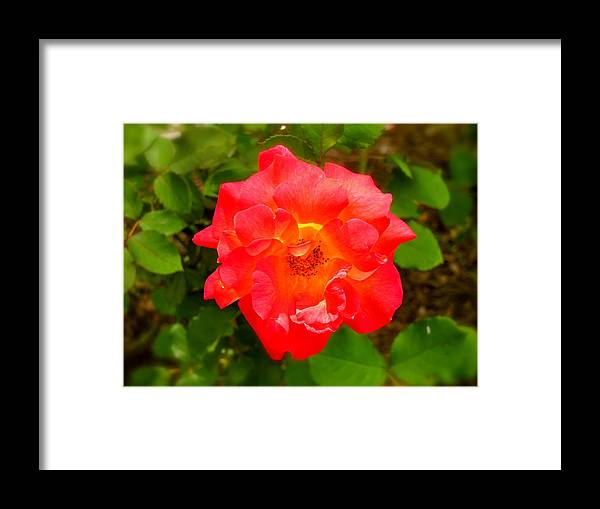 Flower Framed Print featuring the photograph Frosted Red by Martin S Gold