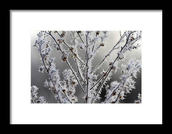 Frost Framed Print featuring the photograph Frosty Field Plant by Carolyn Fletcher