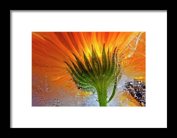 Flower Framed Print featuring the photograph Frozen Marigold by Secundino Losada