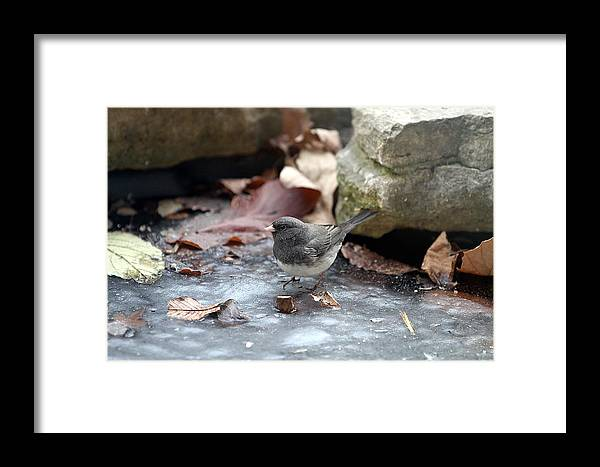 Dark Eyed Junco Framed Print featuring the photograph Frozen Pond by Elizabeth Winter