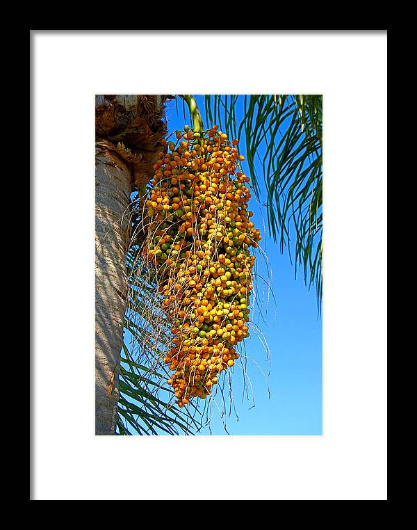 Palm Framed Print featuring the photograph Fruit Of The Queen Palm by Donna Proctor