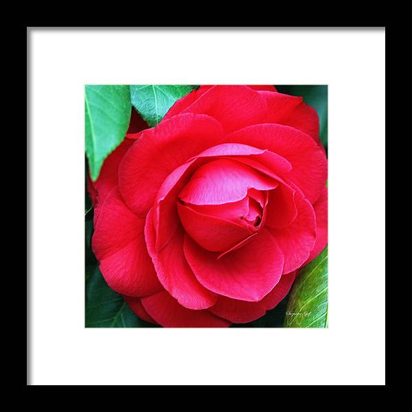 Camellia Framed Print featuring the photograph Fuchsia Camellia In Pastel by Suzanne Gaff