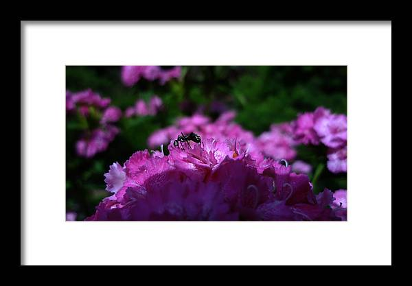 Summer Framed Print featuring the photograph Fuchsia Sweetness by Kasey Hynes