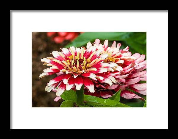Flower Framed Print featuring the photograph Full Bloom by Paul Johnson