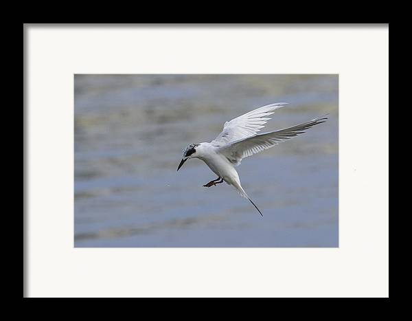 Tern Framed Print featuring the photograph Full Stall by Charles Warren