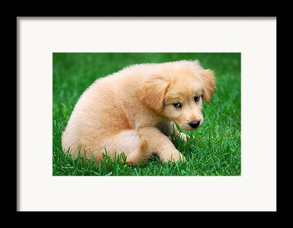 Puppy Framed Print featuring the photograph Fuzzy Golden Puppy by Christina Rollo