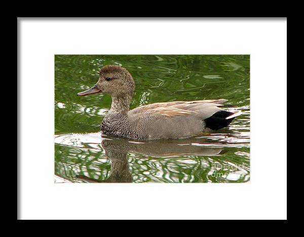 Gadwall Framed Print featuring the photograph Gadwall by Frank Townsley