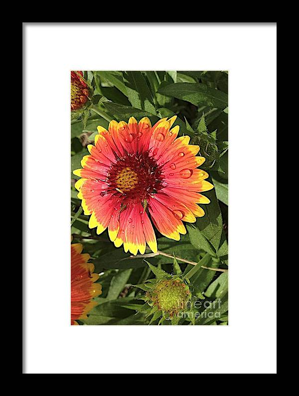 Flowers Framed Print featuring the photograph Gaillardia by Joseph Yarbrough