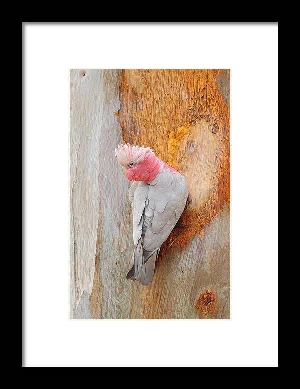 Galah Framed Print featuring the photograph Galah 2AM-29701 by Andrew McInnes