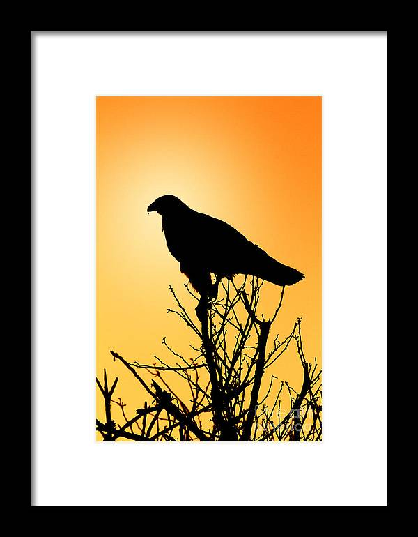 Ecuador Framed Print featuring the photograph Galapagos Hawk by Todd Bielby