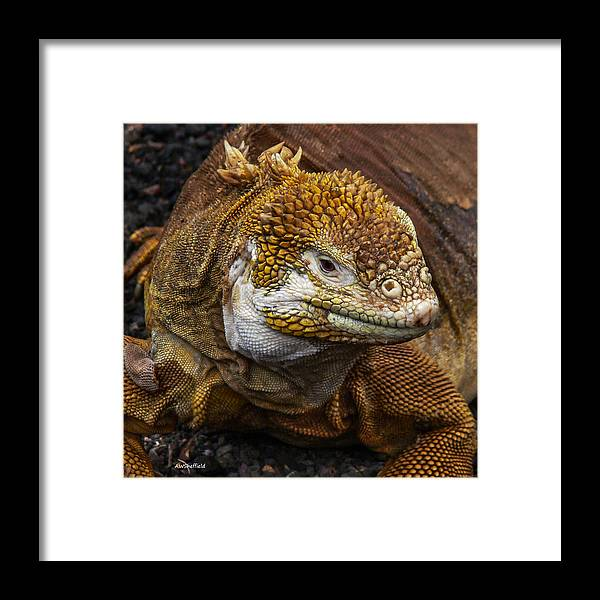 Galapagos Framed Print featuring the photograph Galapagos Land Iguana by Allen Sheffield