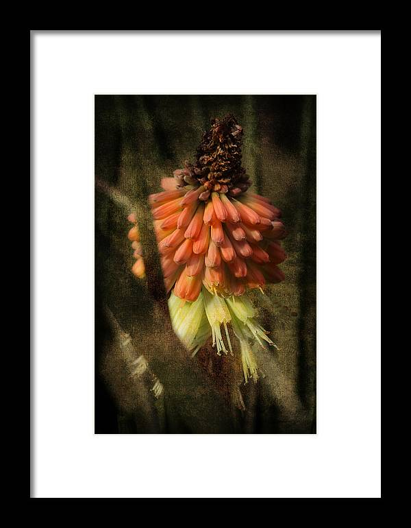 Red Hot Poker Framed Print featuring the photograph Garden Poker Flower by Michael Eingle