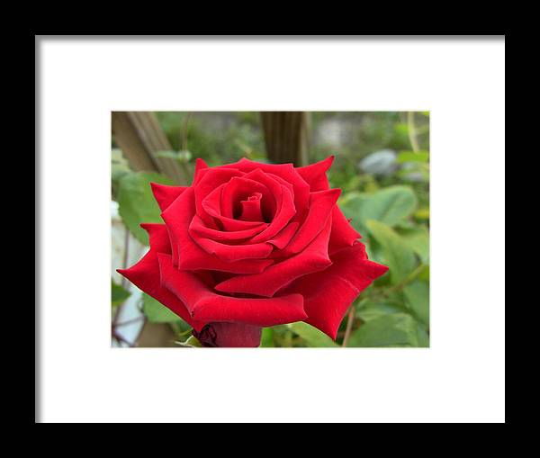 Rose Framed Print featuring the photograph Garden Red Rose by Octavio Montano