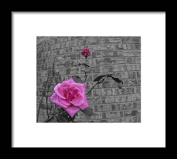 Rose Framed Print featuring the photograph Garden Rose by Philip Rispin