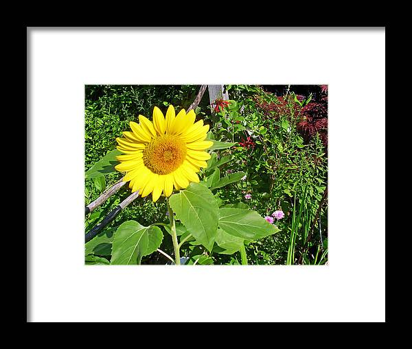 Flower Framed Print featuring the photograph Garden Sunflower by Aimee L Maher ALM GALLERY