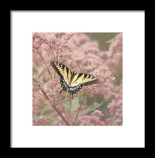 Tiger Swallowtail Butterfly Framed Print featuring the photograph Garden Visitor - Tiger Swallowtail by Kim Hojnacki