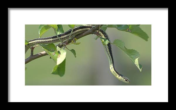 Snake Framed Print featuring the photograph Garter Snake In Apple Tree by Rob Andrus