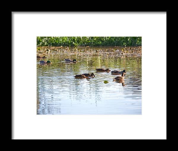 Garher Framed Print featuring the photograph Gathering - Mallars Ducks In Creek Enkopingsaan by Leif Sohlman
