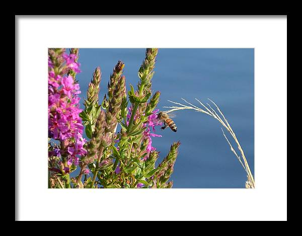 Bee Framed Print featuring the photograph Gathering Pollen 1 by Deborah Ritch