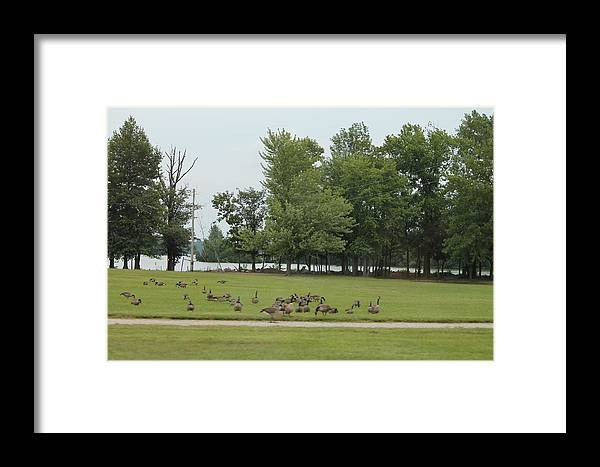 Park Framed Print featuring the photograph Geese by Minnie Davis