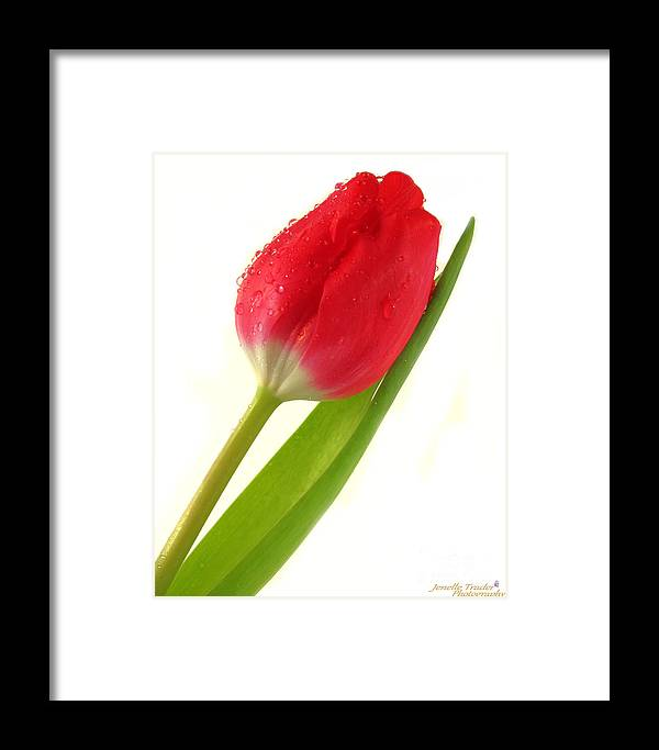 Jenelle Trader Photography Framed Print featuring the photograph Gentle Tulip by Jenelle Trader