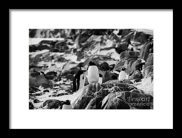 Gentoo Framed Print featuring the photograph Gentoo Penguin On Rocky Landscape On Port Lockroy Antarctica by Joe Fox