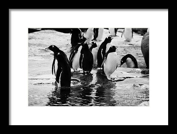 Gentoo Framed Print featuring the photograph Gentoo Penguins On Rocky Shoreline On Port Lockroy Antarctica by Joe Fox