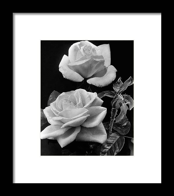 Flowers Framed Print featuring the photograph 'george Arends' Roses by J. Horace McFarland