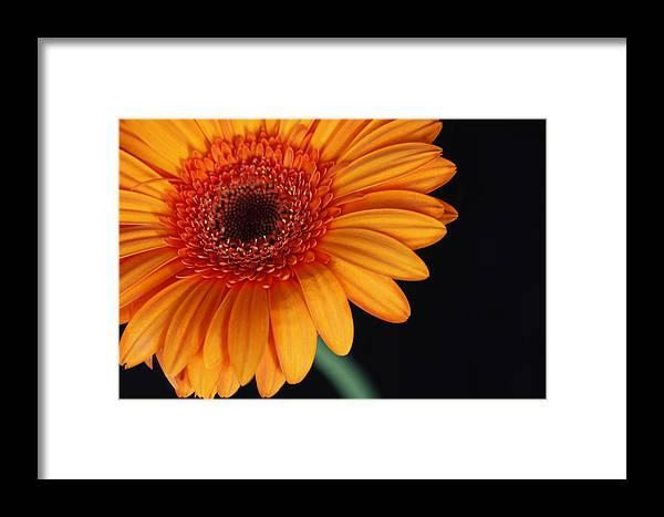 Flowers Framed Print featuring the photograph Gerbera Daisy by Dan Peak