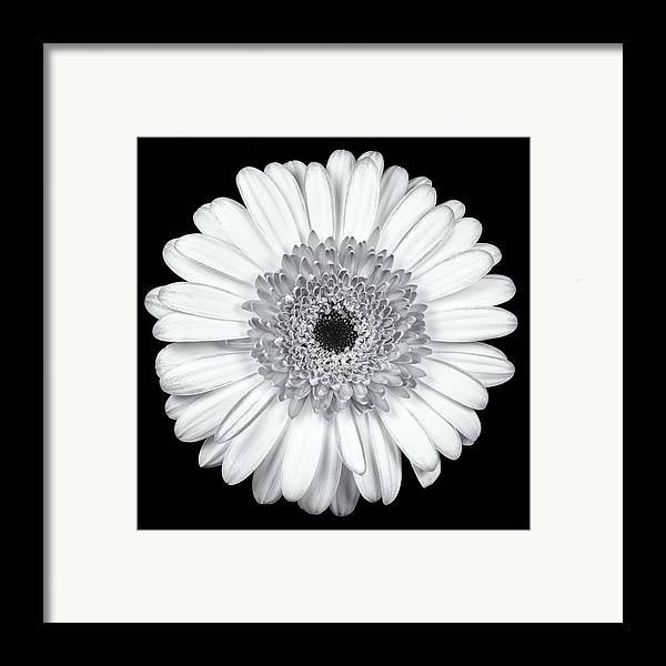 3scape Photos Framed Print featuring the photograph Gerbera Daisy Monochrome by Adam Romanowicz