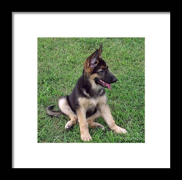 Dog Framed Print featuring the photograph German Shepherd Pup by Kris Wolf