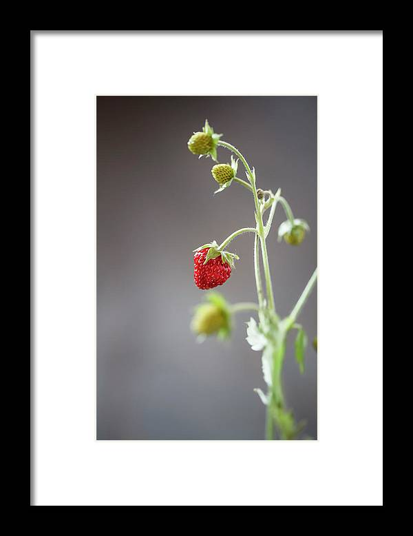 Wild Strawberry Framed Print featuring the photograph Germany, Baden Wuerttemberg, Wild by Westend61