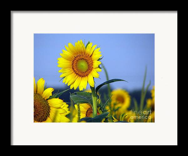 Sunflower Framed Print featuring the photograph Getting To The Sun by Amanda Barcon