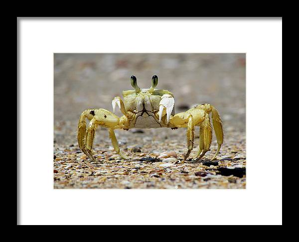 Crab Framed Print featuring the photograph Ghost Crab by Nigel Lallsingh