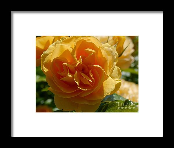 Rose Framed Print featuring the photograph Ginny's Rose In The Sun by Christiane Schulze Art And Photography
