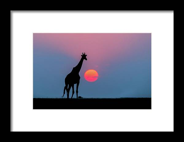 Nis Framed Print featuring the photograph Giraffe At Sunset Chobe Np Botswana by Andrew Schoeman