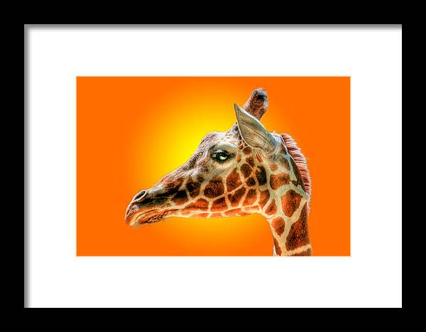 Giraffe Framed Print featuring the photograph Giraffe Headstudy by Bill Ordonez