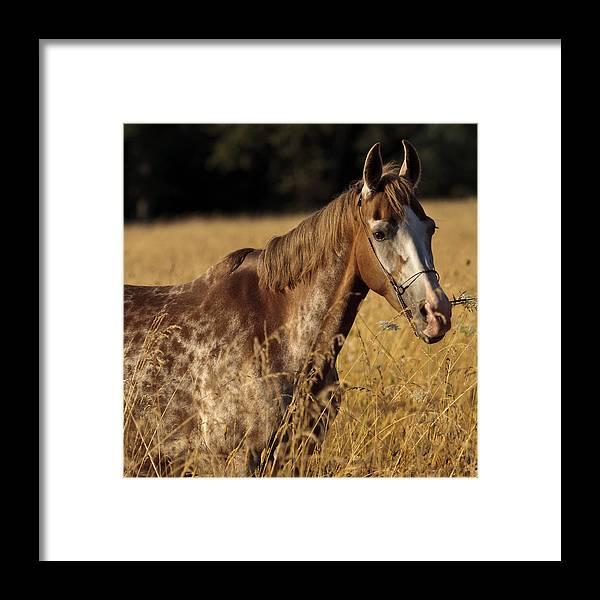 Giraffe Horse Framed Print featuring the photograph Giraffe Horse by Wes and Dotty Weber