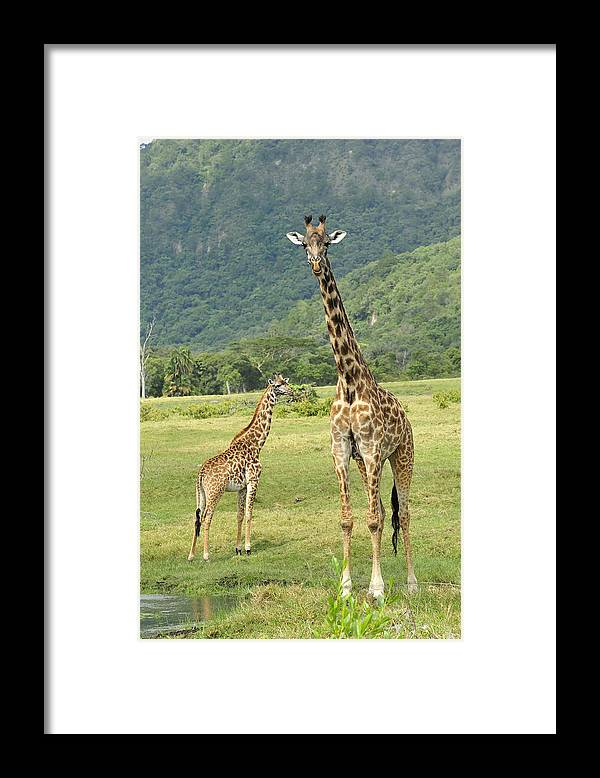 Thomas Marent Framed Print featuring the photograph Giraffe Mother And Calftanzania by Thomas Marent
