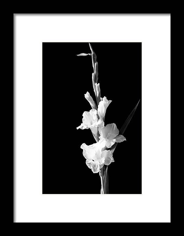 Gladiolus Framed Print featuring the photograph Gladiolus by Chandru Murugan