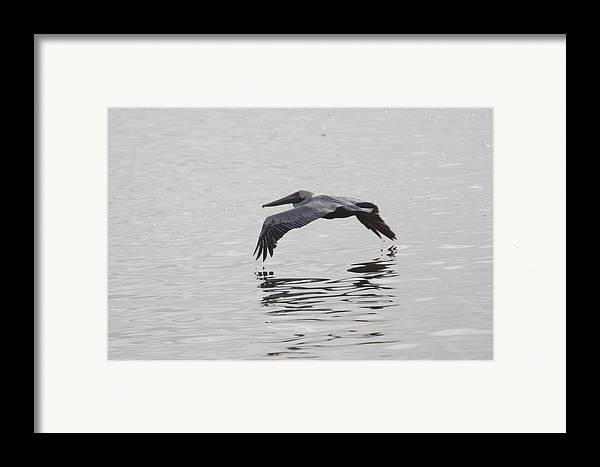 Pelican Framed Print featuring the photograph Glide by Charles Warren