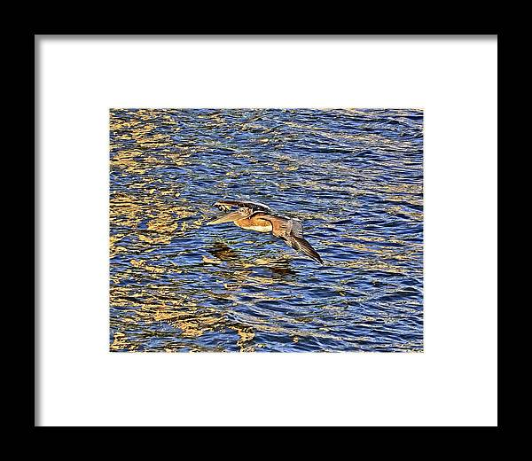 Gliding Framed Print featuring the photograph Gliding Pelican by Dan Dennison