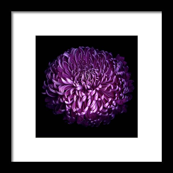 Chrysanthemum Framed Print featuring the photograph Glorious Autumn Purple Chrysanthemum by Photograph By Magda Indigo