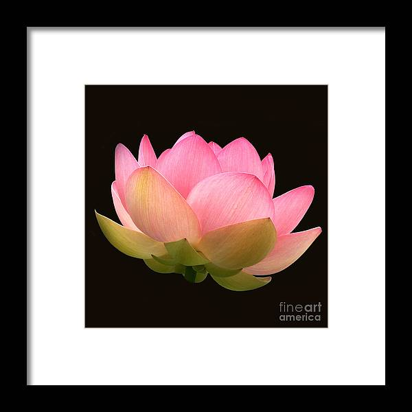 Glowing Pink Lotus Flower Framed Print featuring the photograph Glowing Lotus Square Frame by Byron Varvarigos