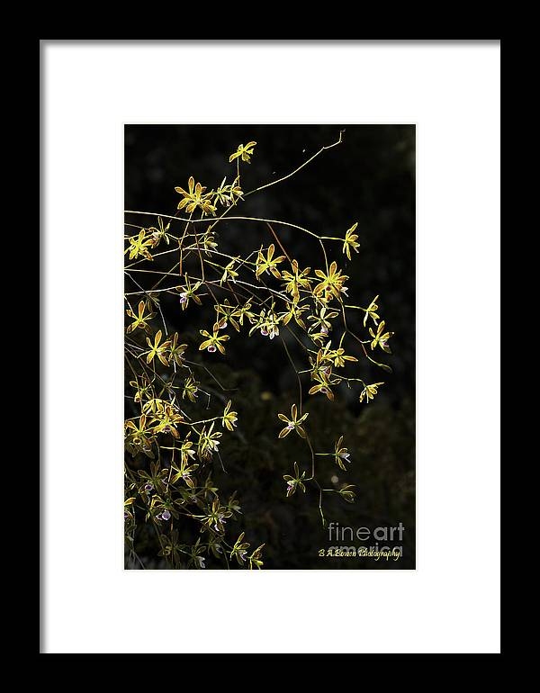 Butterfly Orchids Framed Print featuring the photograph Glowing Orchids by Barbara Bowen
