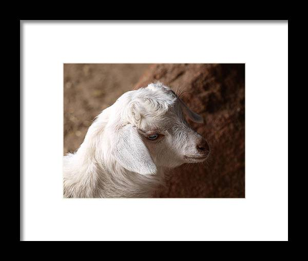 Goat Framed Print featuring the photograph Goat by Michaela Perryman
