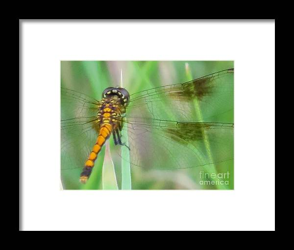 Dragonfly Framed Print featuring the photograph Gold on green dragonfly by Rrrose Pix