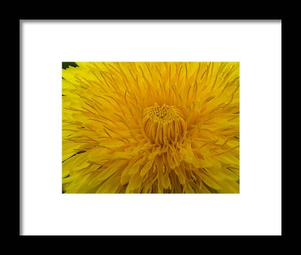 New England Framed Print featuring the photograph Golden Bloom by Gene Cyr